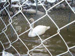 Swan Pentu Arrival 009