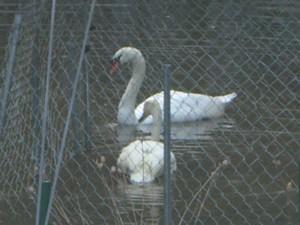 Swan Pentu Arrival 014