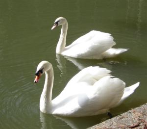 Pentu the Swan at Home on Buckhorn Pond
