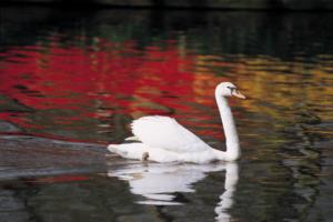 Swan smaller