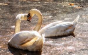 Swans November 2013