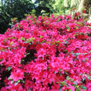 In the Smokies you can find four species of native true rhododendron.