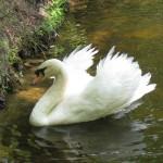 Teller the Swan 1