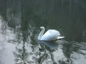 Swan Pentu Arrival 011