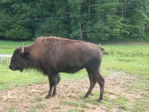 Bison are being brought back from the edge of extinction.