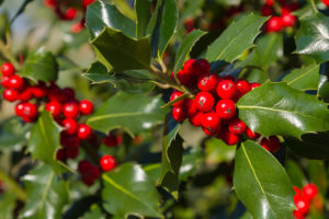 The thick green leaves and bright red berries make holly a popular winter decoration.