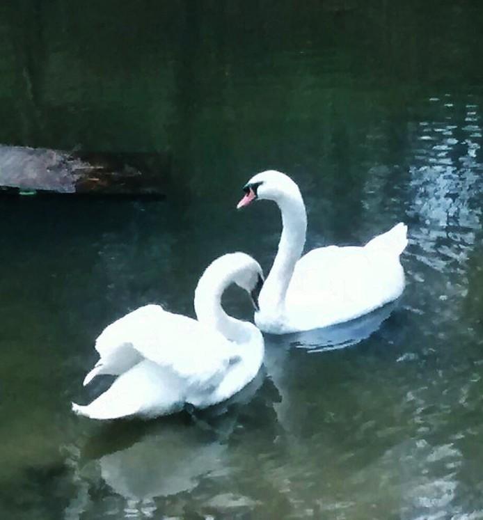 New Swan Arrives