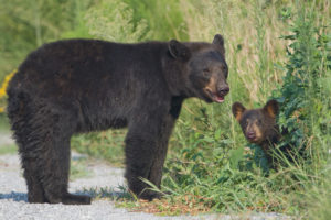 This mother black bear will defend her cub.
