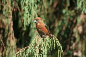 On an autumn hike you may very well spot a red crossbill.