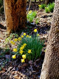 Spring brings daffodils to Buckhorn Inn.